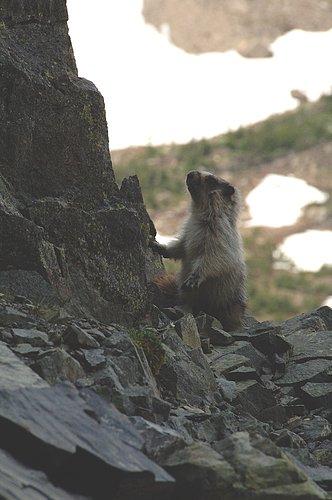 Hoary Marmot - Marmota caligata - Glacier NP 7-18-08 1_372.jpg
