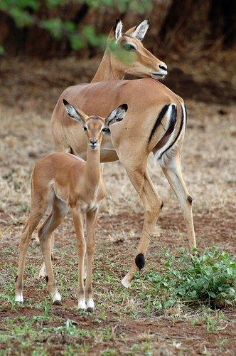 Impala - Aepyceros melampus - Amboseli NP Kenya 10-10-07 2_127.jpg