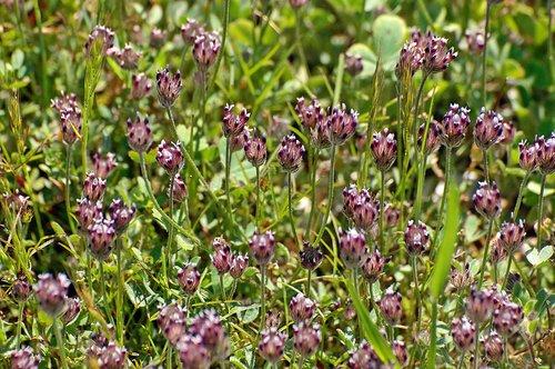 Indian Clover - Trifolium albopurpureum - Bagby CA 4-1-11_222.jpg
