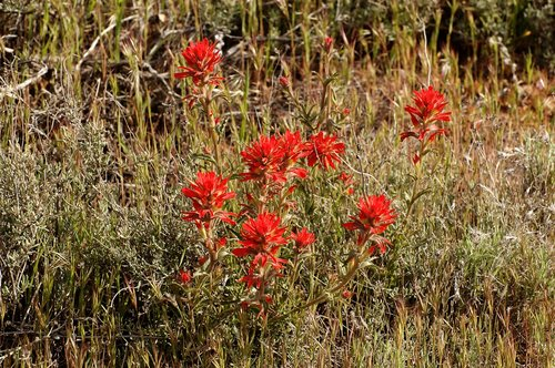 Indian Paintbrush - Castilleja affinis - Frasier Park CA 4-17-10_159.jpg