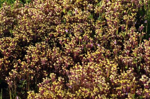 Johnnytuck - Triphysaria eriantha - Bagby CA 4-1-11_019.jpg