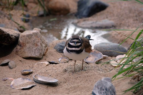 Killdeer - Charadrius vociferus - Monterey Bay CA 11-28-09_084.jpg