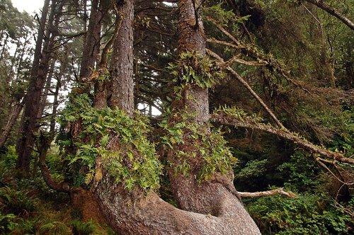 Leather Fern - Polypodium scouleri - Fern Canyon CA 9-11-09_048.jpg