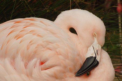 Lesser Flamingo - Phoenicopterus minor - Eastern Africa  10-8-09_201.jpg