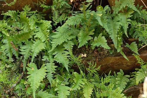 Licorice Fern - Polypodium calirhiza - Hites Cove CA 3-5-11_165.jpg