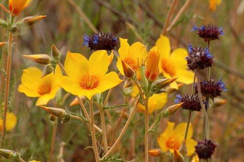 Lindleys Bazing Star - Mentzelia lindleyi - Del Puerto Canyon CA 4-2-10_124.jpg
