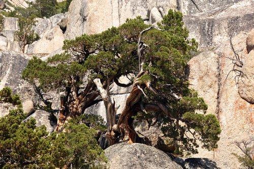 Lodgepole Pine - Pinus contorta - Sonora Pass CA  8-8-09_280.jpg