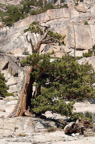 Lodgepole Pine - Pinus contorta - Sonora Pass CA 8-8-09_268.jpg