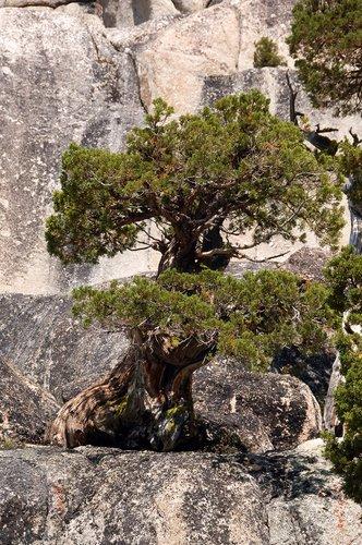 Lodgepole Pine - Pinus contorta - Sonora Pass CA 8-8-09_283.jpg