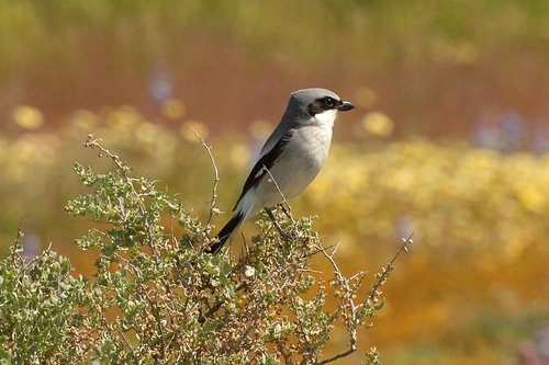 Loggerhead Shrike - Lanius ludovicianus - Carrizo Plain CA 4-18-10_234.jpg