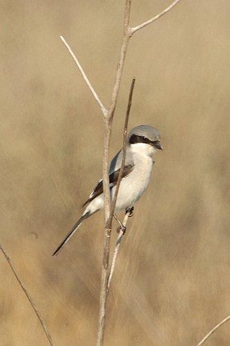 Loggerhead Shrike - Lanius ludovicianus - San Luis NWR CA 12-24-09_145.jpg
