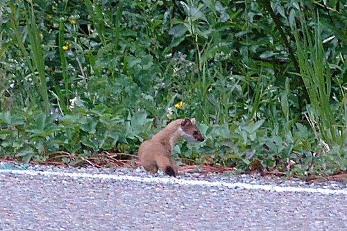Long-tailed Weasel - Mustela frenata - Glacier NP 7-16-08 1_224.jpg