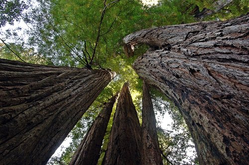 Looking up into the worlds tallest trees - Redwood NP CA 1 9-10-09_030.jpg
