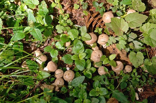 Lycoperdon molle - along Redwood Creek - Redwood NP CA 1 9-10-09_138.jpg