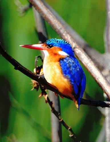 Malachite Kingfisher - Alcedo Cristata - Lake Navashia Kenya 10-9-07_044 (2).jpg