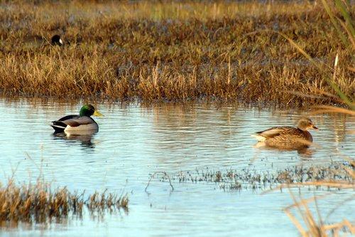 Mallard Duck - Anas platyrhynchos - Merced NWR CA 12-24-11_038.jpg