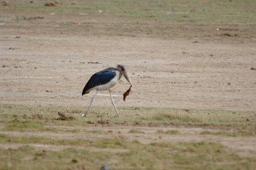 Marabou Stork - Leptopilos crumeniferus - Amobseli NP 10-10-07_073.jpg