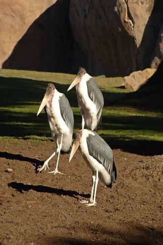 Marabou Stork - Leptoptilos crumeniferus - Eastern Africa 12-25-09 1_063.jpg