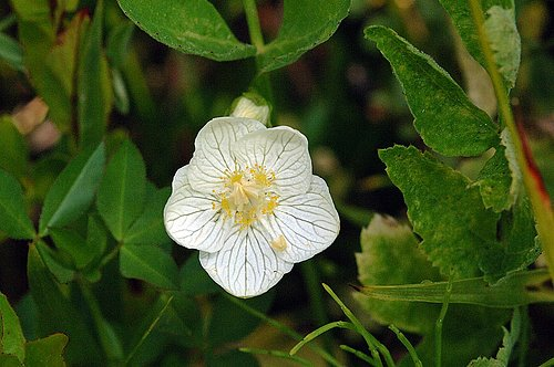Marsh Grass of Parnassus - Parnassia palustris - Dardenelles CA 8-8-09_119.jpg