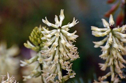 Mount Diablo Milk Vetch - Atragalus oxyphysus - Del Puerto Canyon CA 4-2-10_102.jpg