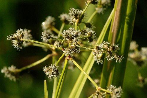 Mountain Bog Bulrush - Scirpus microcarpus - Hogdon Meadow CA 6-14-09_122.jpg