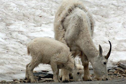 Mountain Goat - Oreamnos americanus - Glacier NP Montana 7-15-08_117e.jpg