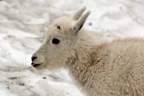 Mountain Goat - Oreamnos americanus - Glacier NP Montana 7-15-08_126.jpg