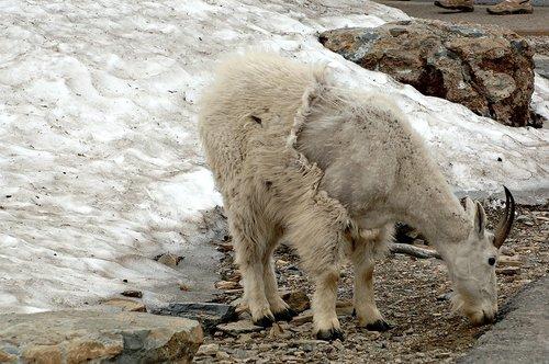 Mountain Goat - Oreamnos americanus - Glacier NP Montana 7-15-08_129.jpg