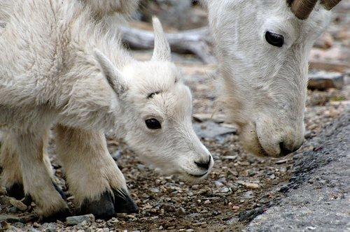 Mountain Goat - Oreamnos americanus - Glacier NP Montana 7-15-08_136.jpg