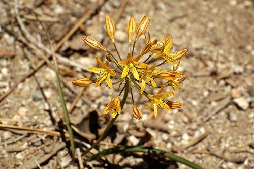 Mountain Pretty Face - Triteleia ixioides anilina - Tioga Road Yosemite NP CA 6-27-09_300.jpg