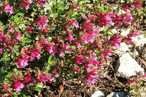 Mountain pride - Penstemon newberryi - Yosemite CA 6-27-09 2_134.jpg