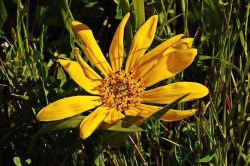 Narrowleaf Mule Ears - Wyethia angustifolia - Redwood City CA 4-16-10_255.jpg