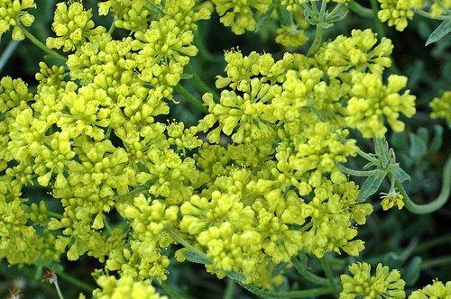Nevada Buckwheat - Eriogonum umbellatum nevadense - Tioga Pass CA 6-27-09 2_166.jpg