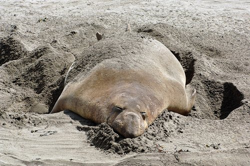 Northern Elephant Seal - Mirounga angustirostris - Big Sur CA 5-24-08 1_300.jpg