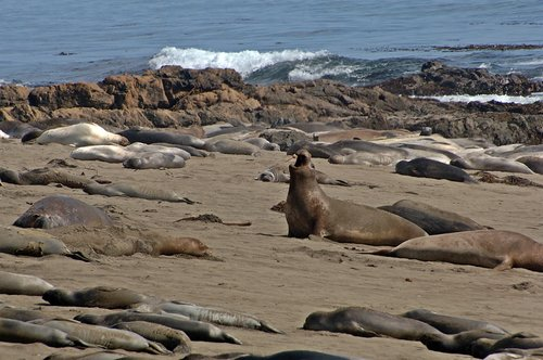 Northern Elephant Seal - Mirounga angustirostris - Big Sur CA 5-24-08 1_315.jpg
