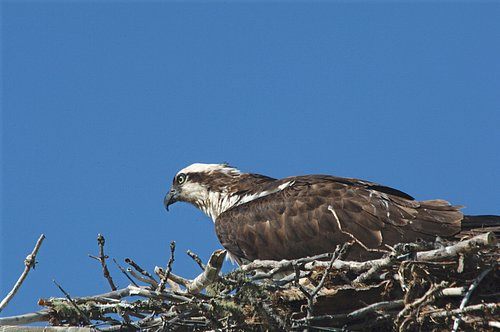 Osprey - Pandion haliaetus - Glacier NP 7-16-08 1_014.jpg