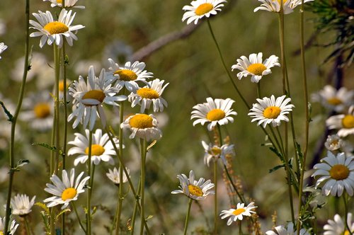 Oxe Eye Daisy - Leucanthemum vulgare - Alpine Lake CA 8-1-09_077.jpg
