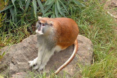 Patas Monkey - Erythrocebus patas - Central Africa 10-8-09_162.jpg