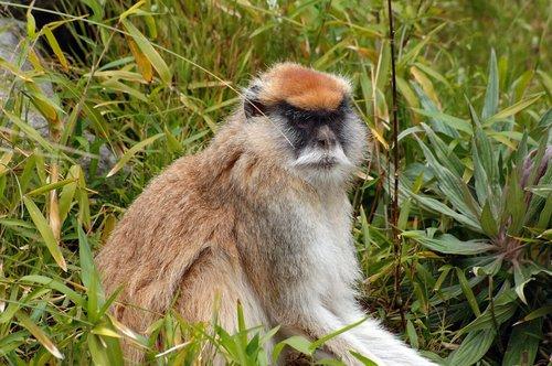 Patas Monkey - Erythrocebus patas - Central Africa 5-15-10_138.jpg