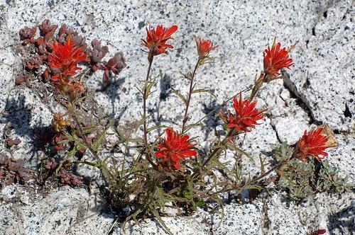Peirsons Paintbrush - Castilleja peirsonii - Tioga Pass CA 6-27-09 2_069.jpg