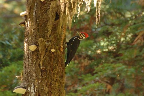 Pileated Woodpecker - Dryocopus pileatus - Redwood CA 9-9-09_030.jpg