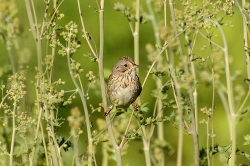 Pine Siskin - Spinus pinus - Hogden Meadow CA 6-27-09_073.jpg