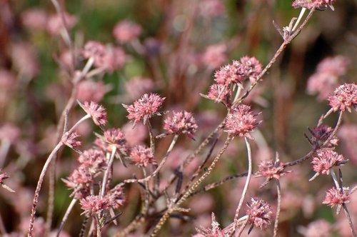 Pink Spineflower - Chorizanthe membranacea - Avenela Wildflower Area CA 4-16-10_346.jpg