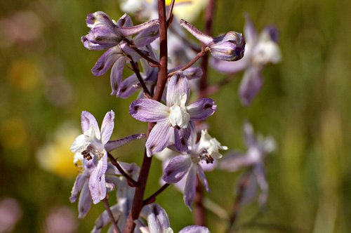Pinoche Creek Larkspur - Delphinium gypsophilum - Carrizo Plain 4-18-10_207.jpg