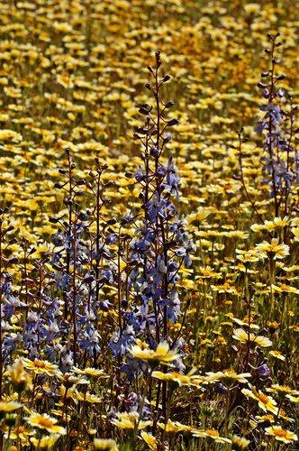 Pinoche Creek Larkspur - Delphinium gypsophilum - Carrizo Plain 4-18-10_219.jpg
