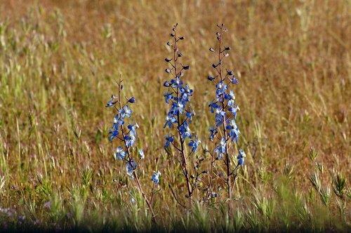 Pinoche Creek Larkspur - Delphinium gypsophilum - Carrizo Plain CA 4-18-10_042.jpg