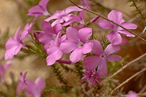 Prickly Phlox - Linanthus californicus - Avanela Wildflower Area CA 4-3-10_115.jpg