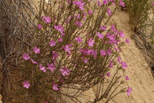 Prickly Phlox - Linanthus californicus - Avanela Wildflower Area CA 4-3-10_127.jpg