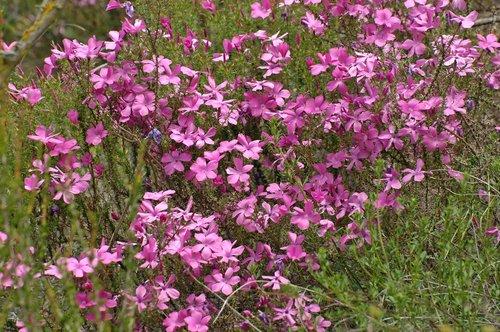 Prickly Phlox - Linanthus californicus - Avanela Wildflower Area CA 4-3-10_232.jpg