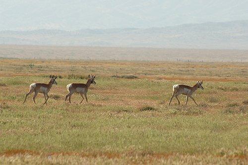 Pronghorn Antelope - Antilocarpa americana - Carrizo Plain CA 4-18-10_097st.jpg